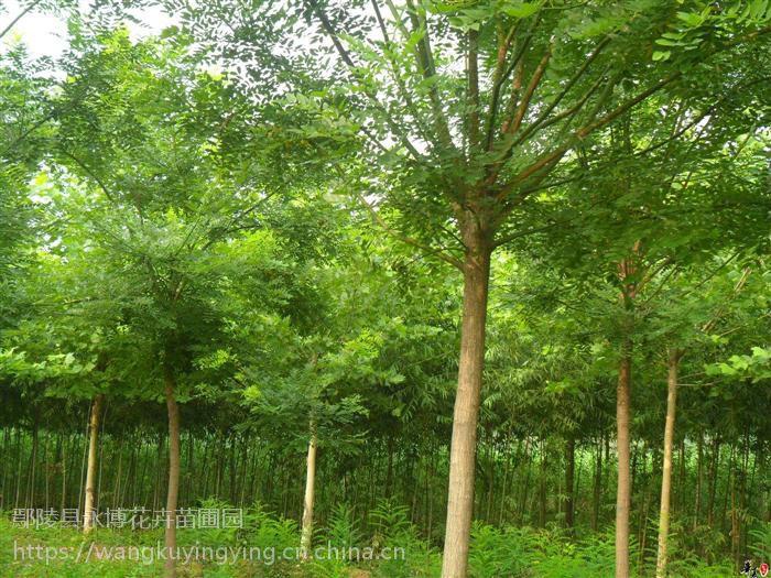 鄢陵县永博花卉苗圃园 3-25公分国槐