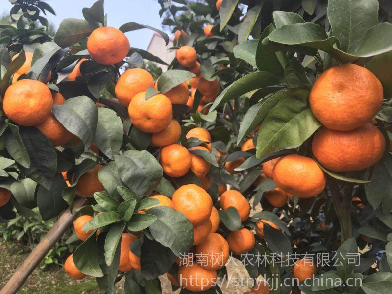 提供晶秋砂糖橘柑橘苗