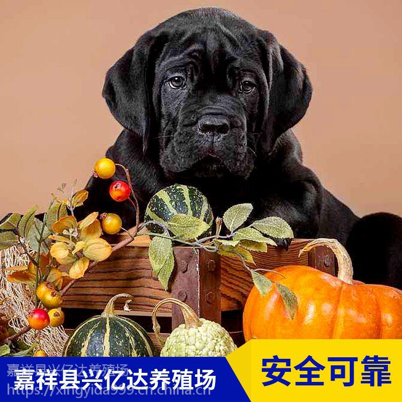 嘉祥县兴亿达优质卡斯罗小狗养殖场报价