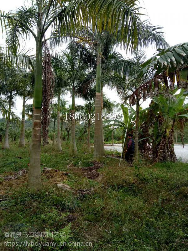 海南大王椰子规格,海南大王椰子苗木生产