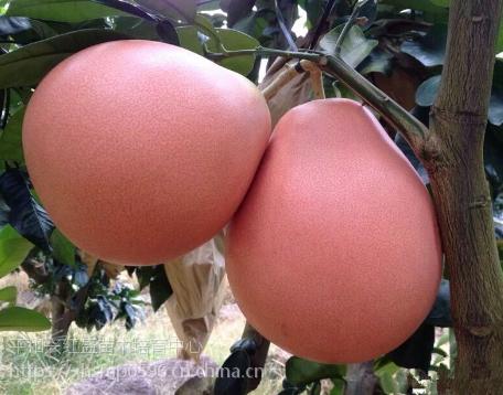 福建蜜柚苗基地|蜜柚苗哪里有的买|三红柚子苗怎么卖