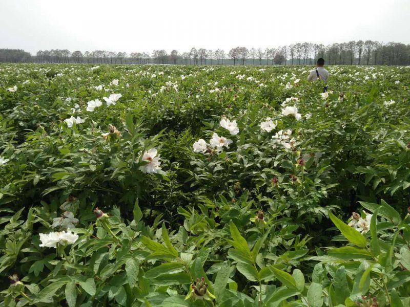 安徽牡丹苗 牡丹种子牡丹种植基地