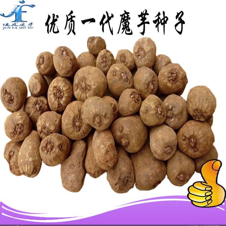 俊发魔芋直供优质脱毒魔芋种子,专业、诚信、可靠!