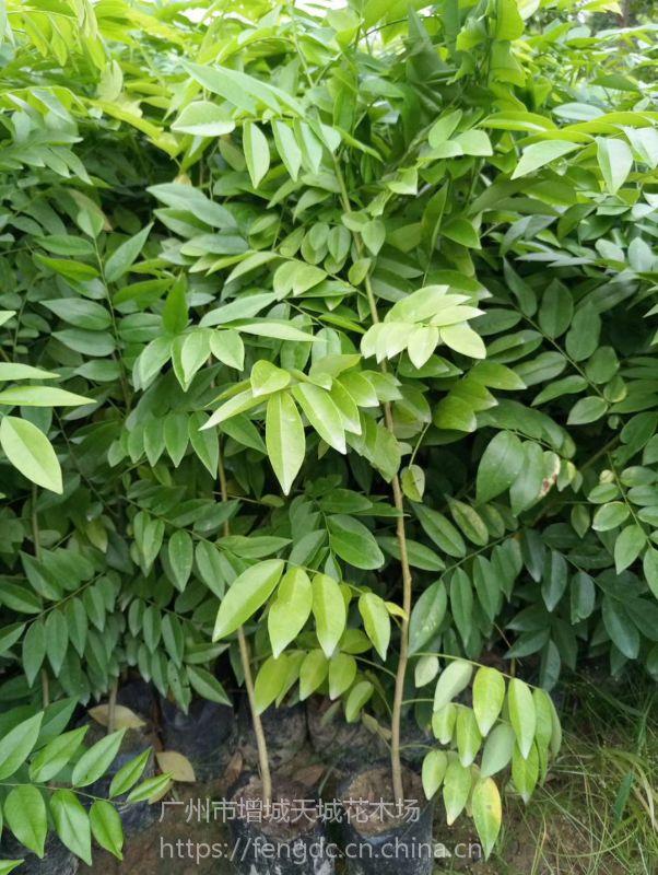 海南黄花梨-降香黄檀-黄花梨树