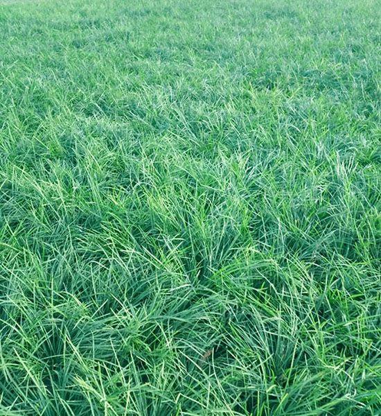 绿化麦冬苗批发供应商