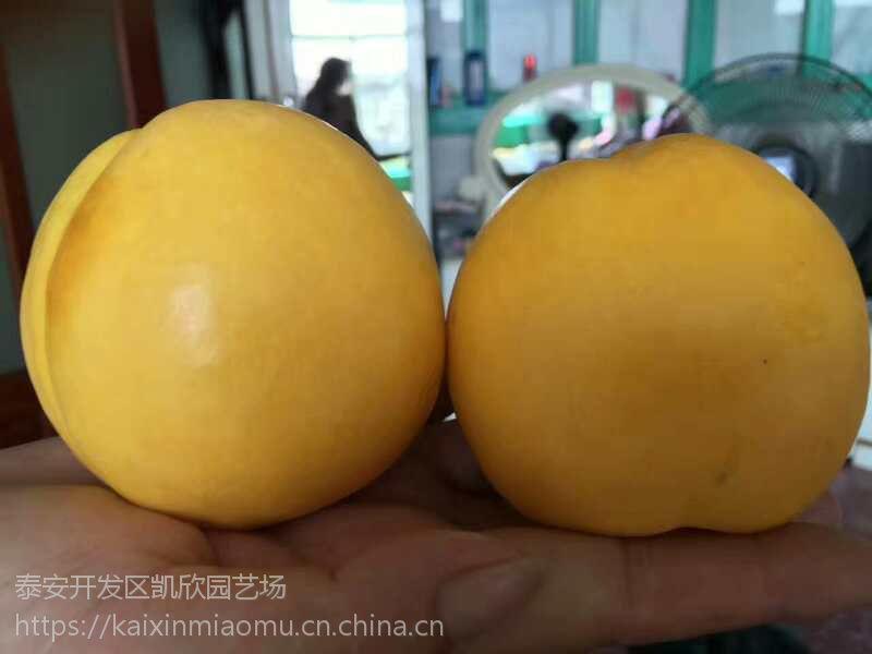 中油金瑞油桃苗多少钱 中油金瑞油桃苗新报价
