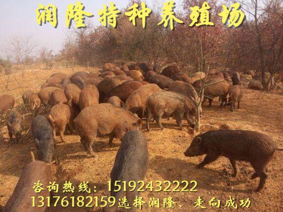 盘锦湖南哪里有野猪养殖场?