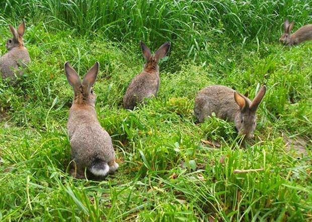 獭兔多少钱一只今日獭兔价格一斤养殖行情