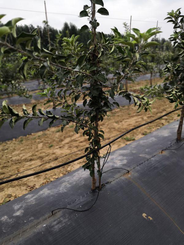 m9t337矮化苹果苗基地 自根生砧木苹果苗