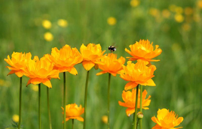 坝上沽源金莲花基地出售金莲花茶,药花,种子,种苗等