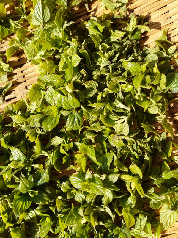 湖北大型神豆腐树苗(观音豆腐树苗.豆腐柴苗)培育基地