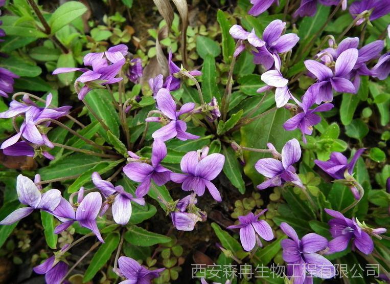 心叶堇菜提取物/犁头草浓缩粉/紫花地丁提取物 森冉生物图片