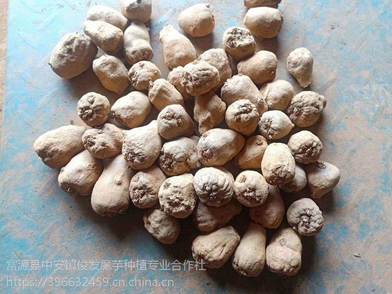 魔芋种子,等级1,发芽率≥90%,俊发魔芋基地直供