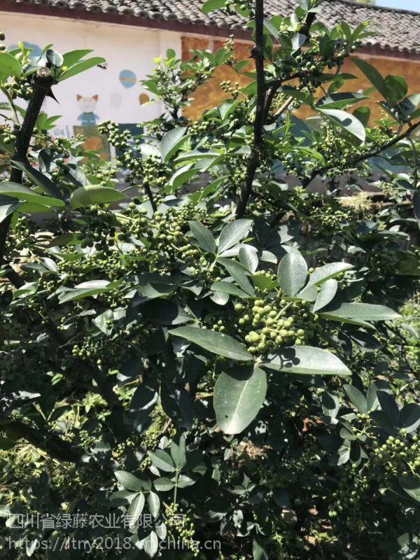藤椒苗正确的栽种方法,藤椒苗基地四川,藤椒苗批发四川绿藤