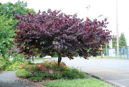 加拿大红叶紫荆价格