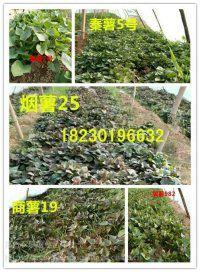 西瓜红(普薯32)红薯苗育苗基地全国甘薯育苗批发市场