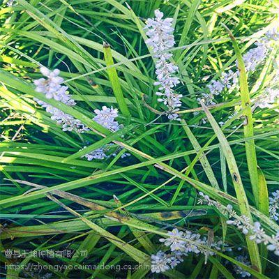 绿化麦冬苗批发供应