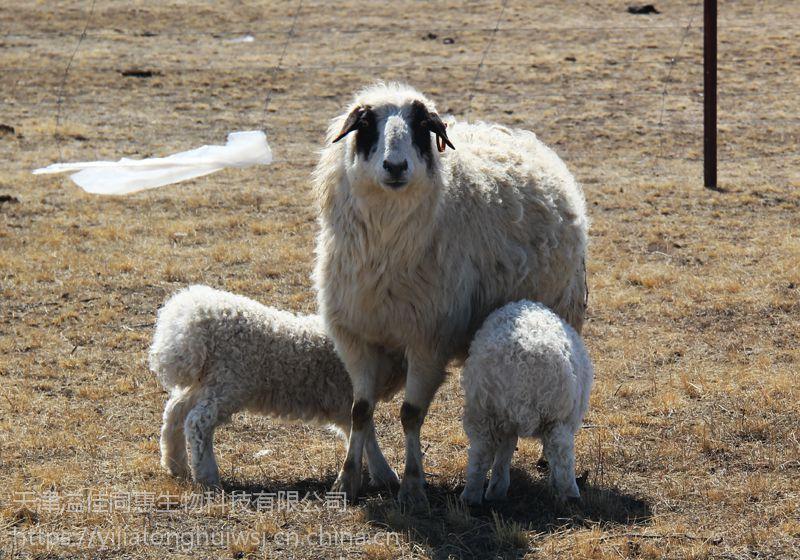 繁殖母羊专用饲料供应厂家 王世佳