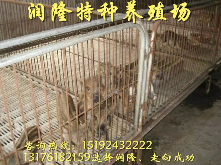 惠州纯种的野猪苗多少钱