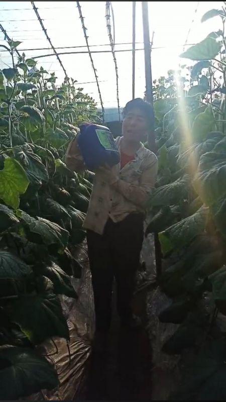 黄瓜用了生根菌肥叶大瓜多