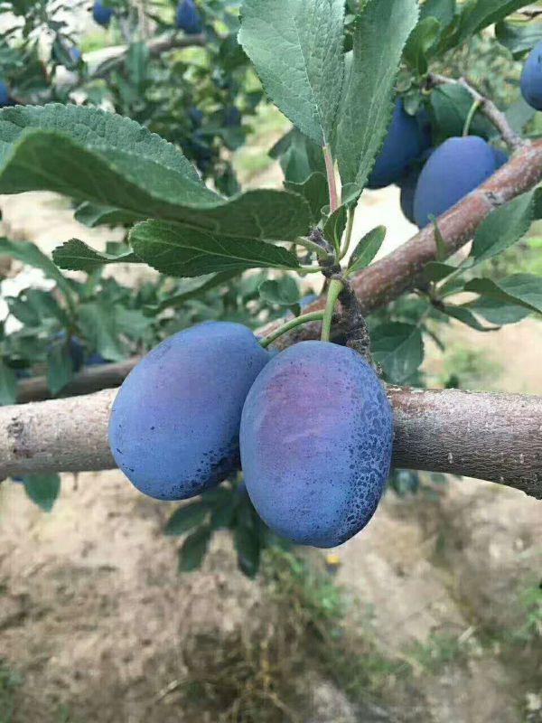 西梅树苗的特征 西梅哪个品种好 西梅女神大果树苗