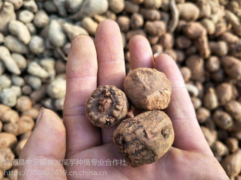 俊发魔芋-【优质脱毒魔芋种子】,等级1,发芽率≥90%