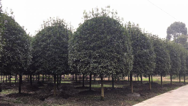 成都优质桂花树品种价格低特点