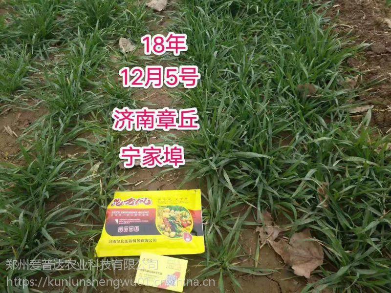 小麦稀疏黄苗喷施昆仑风小麦套餐 高产抗病七天可见明显效果