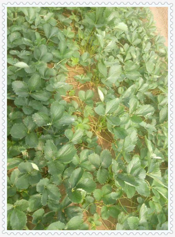 江苏常州哪里有法兰地草莓苗
