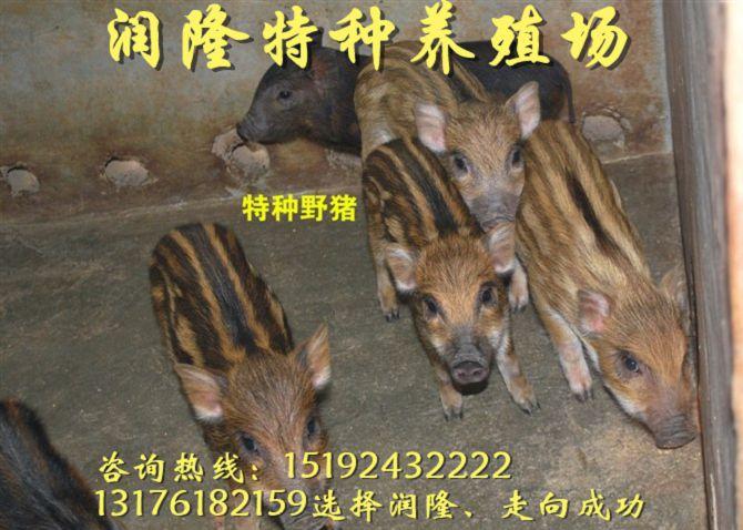 博尔塔拉野猪养殖简单吗