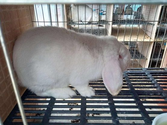 公羊兔种兔价格比利时种兔吃什么比如何养殖