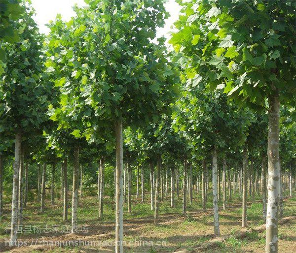 各种树苗批发 绿化树苗多钱一颗