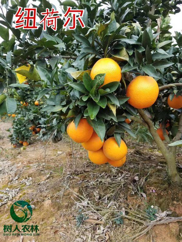 纽荷尔脐橙苗价格  赣南脐橙的品种名称