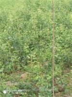 山东供应山楂树苗,品种好,早结果, 2 3 4 5公分山楂树苗价格