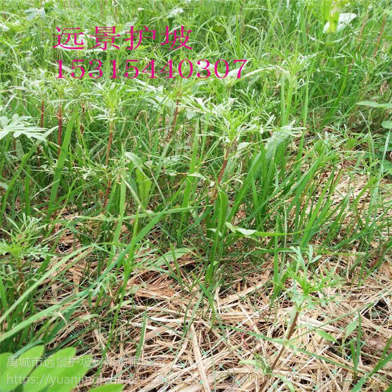 带草籽植物纤维毯带草籽植生毯远景护坡材料厂家直供北京护坡绿化