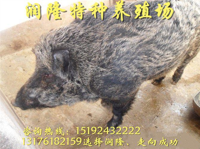 铜陵活野猪苗多少钱一斤
