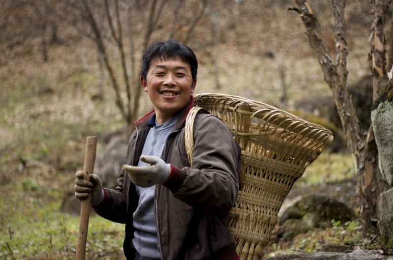 客户亲自上阵采集野生种植秦南天天麻