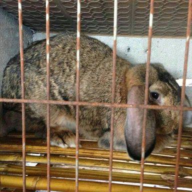 今日长毛兔兔毛价格纯种野兔养殖_养殖