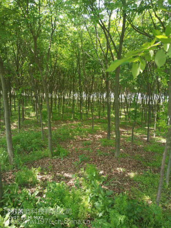 七叶树苗木价格 七叶树价格参考