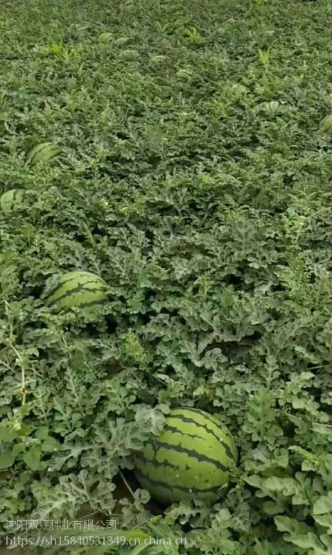 双红金钻东北露地圆瓜特大地雷高产新品种西瓜种子