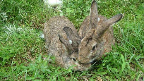 十八斤公羊兔图片法系獭兔种兔价格养殖行情