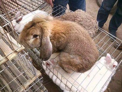 獭兔多少钱一只 今日獭兔价格一斤 养殖行情