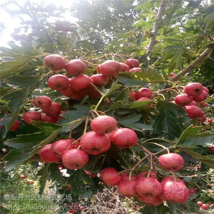 山楂树苗哪里有 山楂树苗品种 田红籽山楂苗价格 酸甜适中 欢迎实地考察