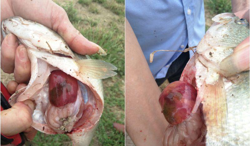湖南岳阳加州鲈肝胆病用龙昌胆汁酸保肝胆7天后肝脏恢复红润健康