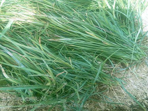 山东麦冬草绿化草坪价格麦冬草批发