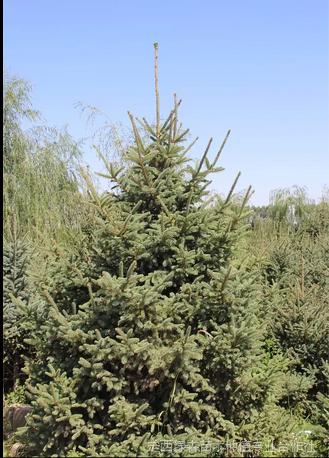 甘肃云杉-西北云杉种植面积大50公分1米1.5米云杉