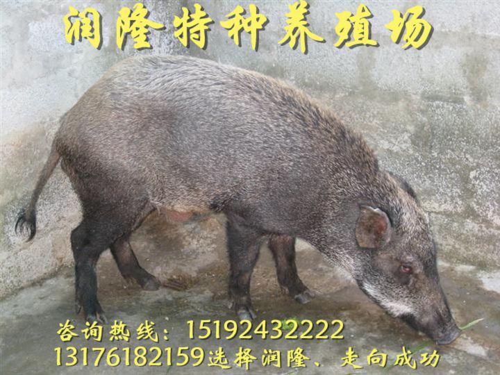 武威野猪苗养殖技术哪里找