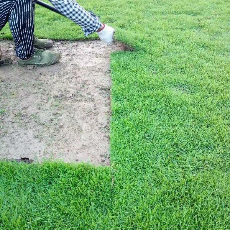 马尼拉草皮 草皮卷 草块 园林绿化常用草坪草种 批发价格