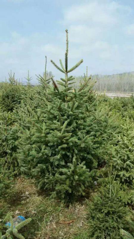 1米2米3米4米5米6米云杉种植规格全-甘肃云杉报价