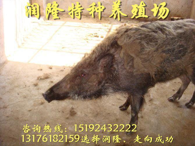 萍乡出售纯野猪苗价格